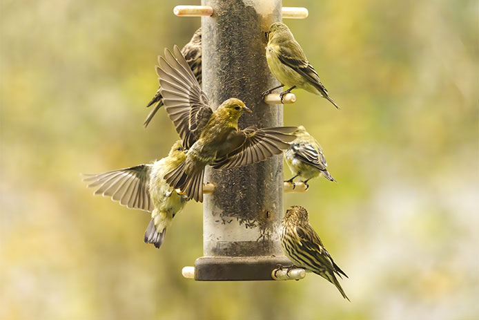 Nyjer Bird feed with goldfinches